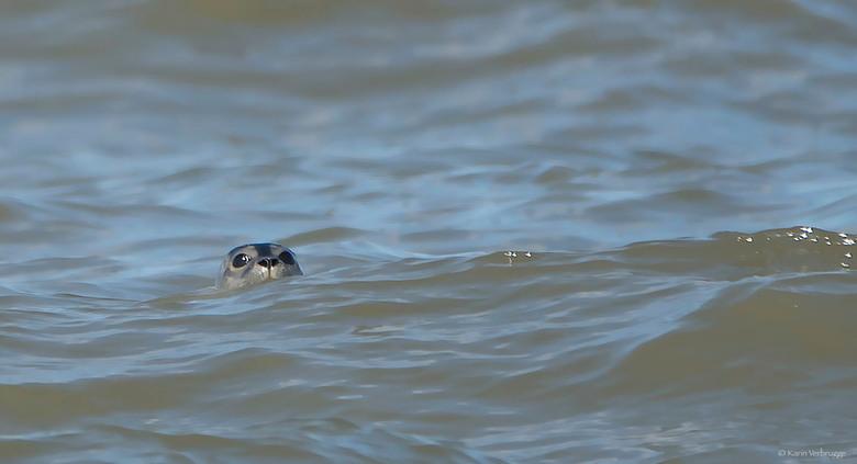 Gluren - Ook met de dames in Katwijk. Deze foto is meer een geintje: ik had nog nooit een zeehond in het wild gezien. Laat staan bij ons voor de kust.