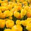 Een bosje gele tulpen