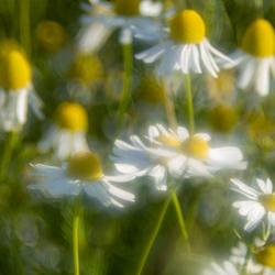 Dreamy Daisys