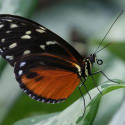 Heliconius hecale - Passiebloemvlinder