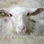 Schaapje, schaapje, heb je witte wol ?