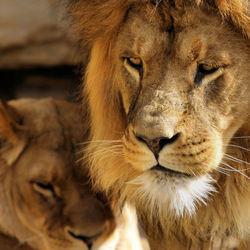 Koning van de dieren