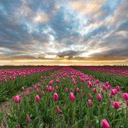 Zonsopkomst boven het tulpenveld