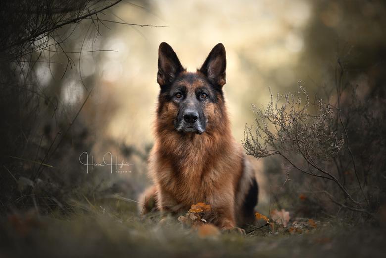 Faithful - Portret van Dexter, Duitse Herder.<br />