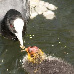 moeder en kind Meerkoet