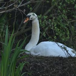 Moeder zwaan op het nest.
