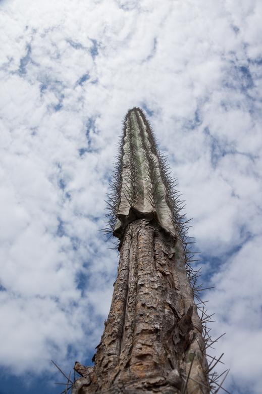 Skyscraper - Met recht een wolkenkrabber. Deze cactus op Bonaire heb ik van onderen gefotografeerd waardoor hij nog veel hoger lijkt dan de +3m die hi