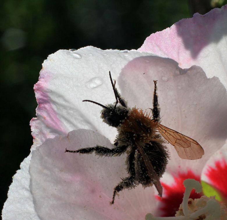 bij vol met pollen - Macro vind ik leuk om mee te experimenteren. Genomen met 50mm opbjectief en wat tussenringen. Grafisch wel leuk door het tegenlic