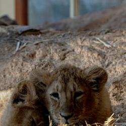 jongen leeuwen lekker luieren