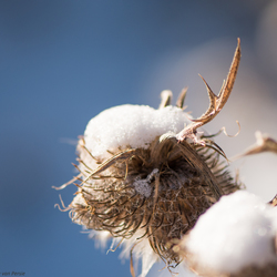 distel met sneeuwhoedje