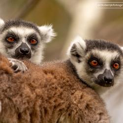 Twee ringstaartmaki's op Madagaskar.