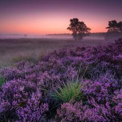 Rucphense Heide in bloei