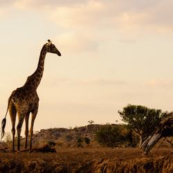 Tuli Giraffe
