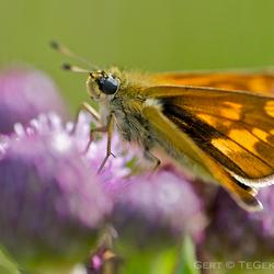 Distel vlinder ....