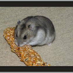 Momo, de hamster