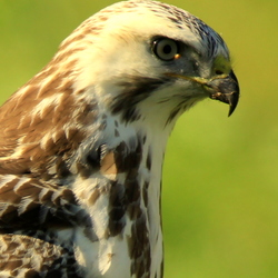 portret blonde buizerd