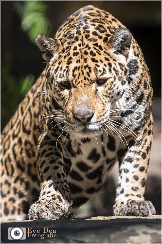 Jaguar moeder - Deze prachtige Jaguar moeder kwam ik tegen in Artis.