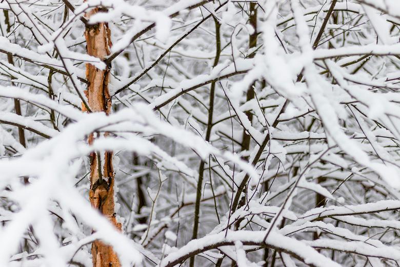 Standing out the snow - Op weg naar een locatie die ik eigenlijk wou fotograferen kwam ik dit bosje tegen. De kleurige stam van de berk stak erg af bi