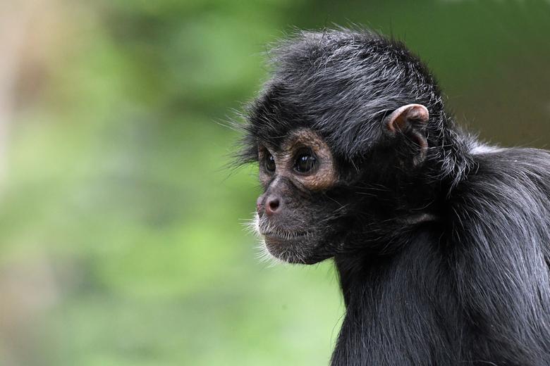 vijf ledematen - De Colombiaanse slingeraap is door de wetenschap ingedeeld bij de grijpstaartapen. De staart van deze apen functioneert als een vijfd