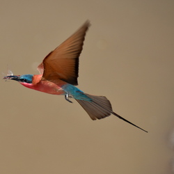 Southern carmine bee-eater met libelle