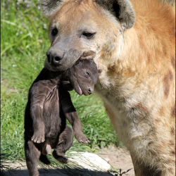 Gevlekte Hyena met jong