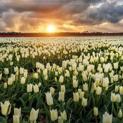 White tulips between sunrise and storm