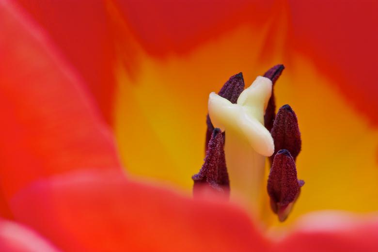 Tulp 1 - Vandaag even wat macro op statief geprobeerd. De stamper en meeldraden van een tulp. Hier nog goed herkenbaar. Graag hoor ik welke het best i