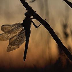 Libel silhouet