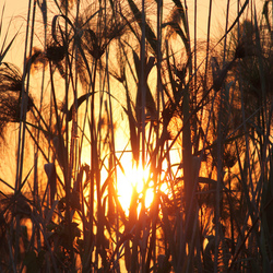 Papyrus sunset