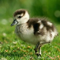 If it walks like a Duck....