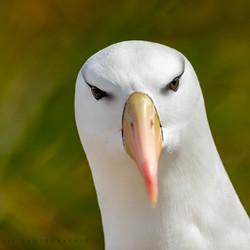 Portret van een Albatros