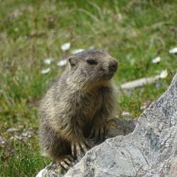 Marmot jong Grossglockner Oostenrijk