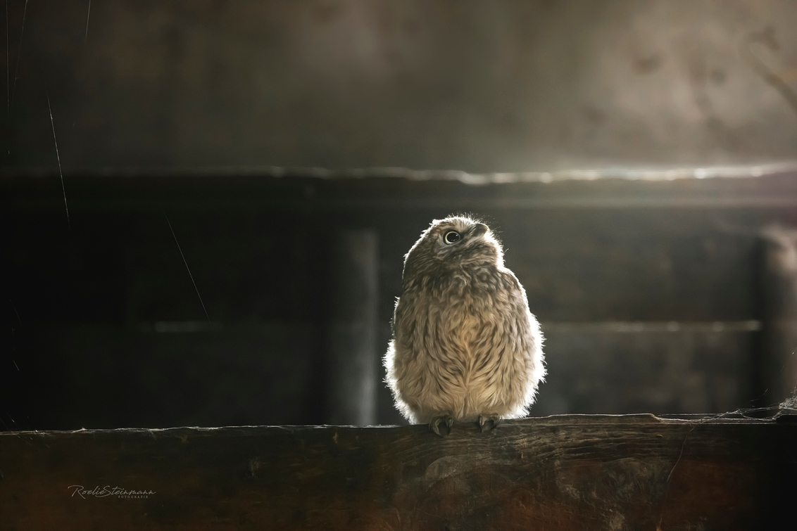 Little owl in painterly light