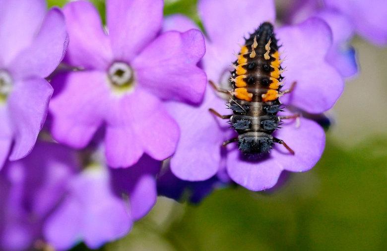 Larve lieveheersbeestje - 2 Weken geleden liepen er meerdere larven van lieveheersbeestjes op mijn balkon. Ze kozen een plekje aan het gaas en hechtte