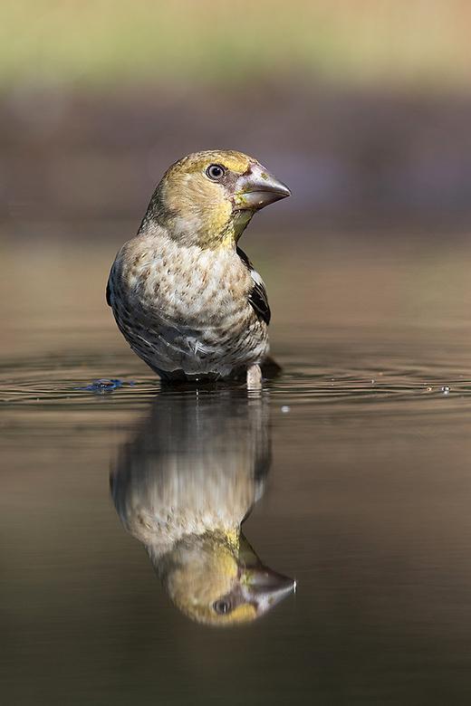 spiegeltje spiegeltje - Deze jonge Appelvink, kwam zich even wassen.<br /> <br /> Iedereen een fijn weekend gewenst en bedankt voor de mooie comment