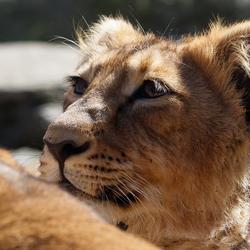 Jonge Aziatische leeuw