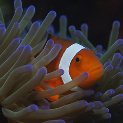 Eastern Clownfish