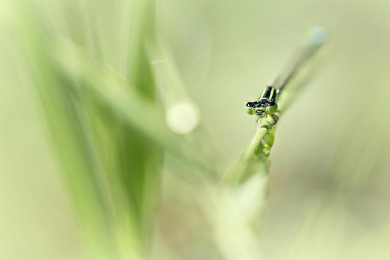 so fresh! - Vind de foto lekker fris ogen. deze libelle kwam even kijken hoe ik een soortgenoot op de gevoelige plaat aan het leggen was, tsja dan moe