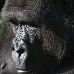 Westelijke laagland gorilla