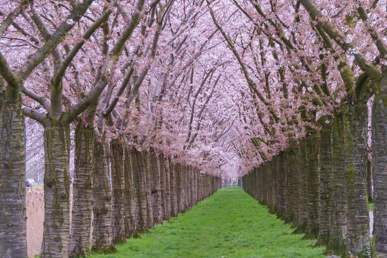 Kersenbloesem Regenboogbuurt Almere -