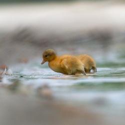 Jonge eend