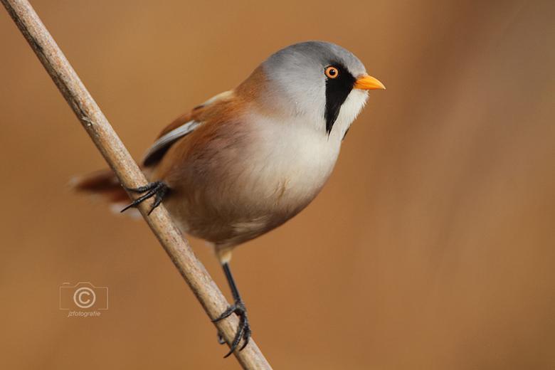 Baardmannetje 3 - Een Baardmannetje op een rietstengel, <br /> dit mooie vogeltje heb ik kunnen fotograferen in het natuurgebied van park Assumburg i