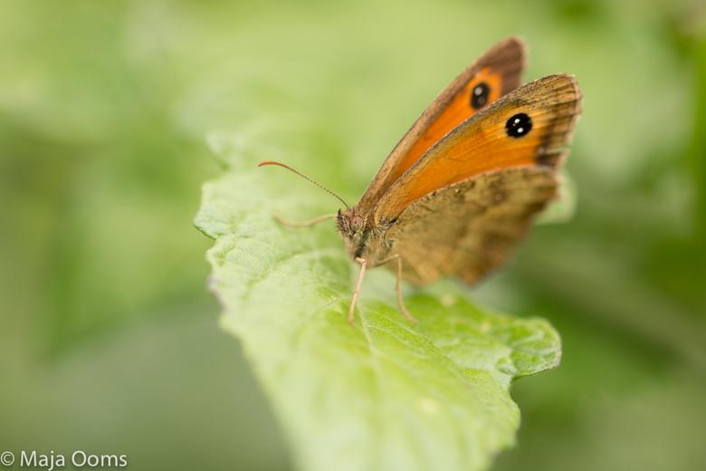 Hello there... - Deze zat in de achtertuin in ons stukje groentetuin...volgens mij een hooibeestje...mooi diertje om weer eens te oefenen met de macro