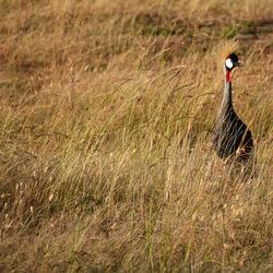 kraanvogel geniet van de laatste zonnestralen
