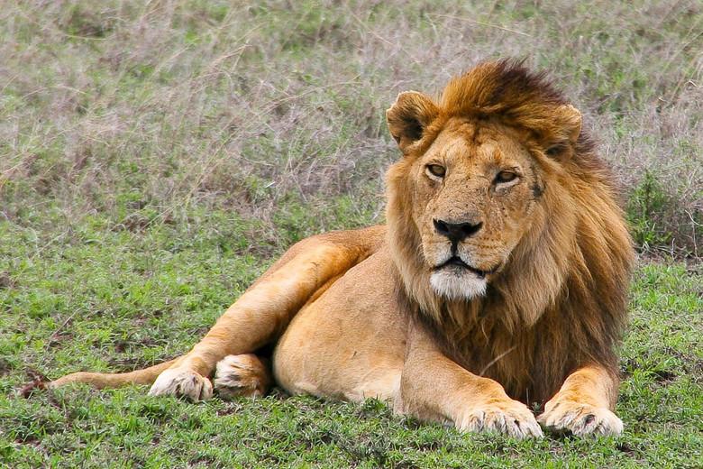 The Lion King - Dit prachtige exemplaar vonden we in Tanzania in de Serengeti nabij de Gol-kopjes. Het was hier lekker rustig dus we konden hier allee