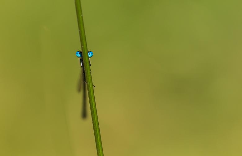 Ogen van een waterjuffer - Weergave van een waterjuffer die rust op een grasspriet. De ogen komen mooi naar voren bij de rustige achtergrond.
