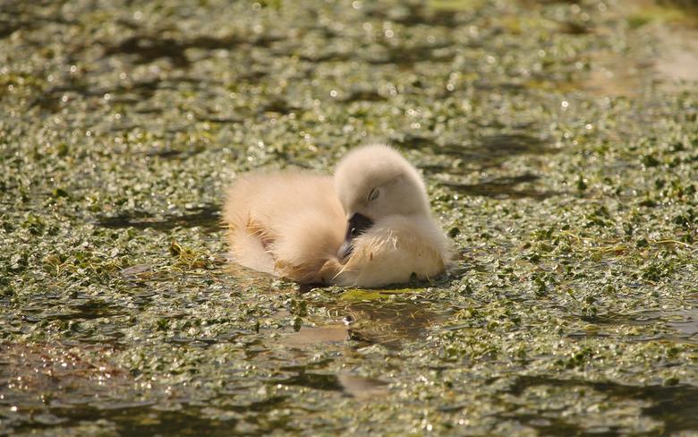 Zwanenkuiken - Even lekker slapen op het water...