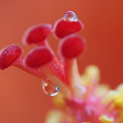 Indische roos na regenval