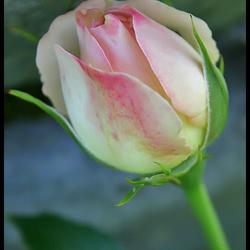 Jardin aux roses