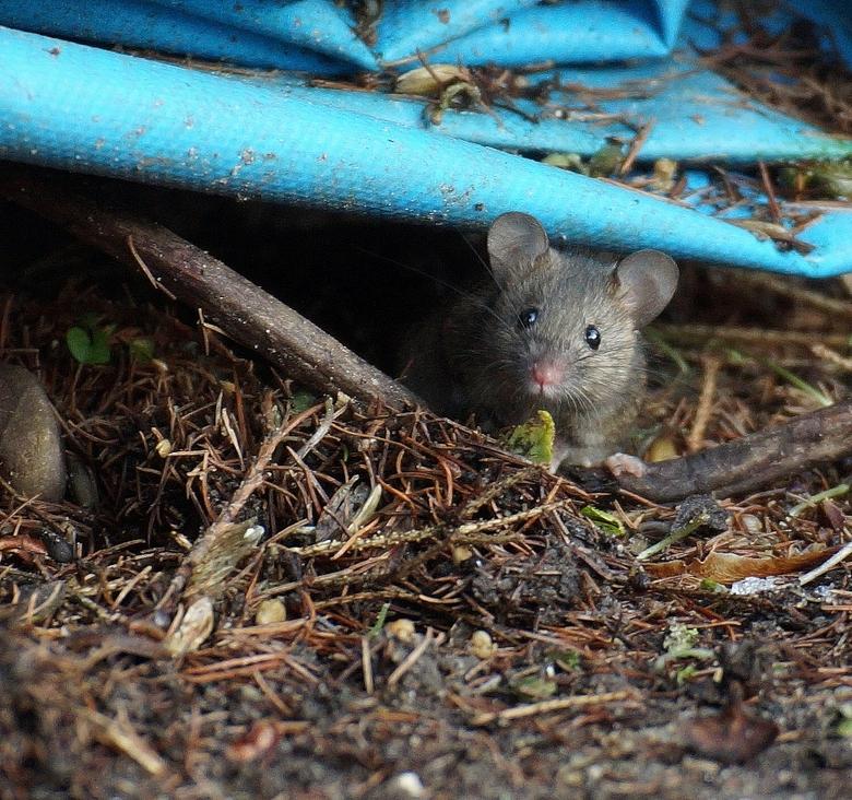 ondergedoken? - Al 2 dagen geen muisjes meer gezien, dus ze zitten verstopt....of iemand in de buurt heeft gif gestrooid.<br /> <br /> Moet het dus